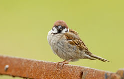 Tree Sparrow. Male tree sparrow on a piece of rusy iron Stock Images