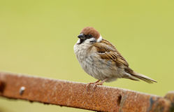 Tree Sparrow. Male tree sparrow on a piece of rusy iron Royalty Free Stock Images