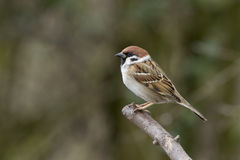 Tree sparrow Royalty Free Stock Photo