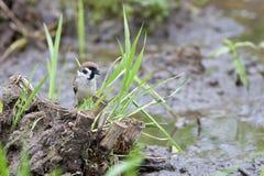 Tree sparrow Stock Photography