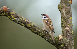 Tree Sparrow. Sitting on branch Stock Images