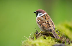 Tree Sparrow. Sitting on moss Royalty Free Stock Images