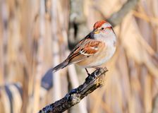 Tree Sparrow Stock Photos