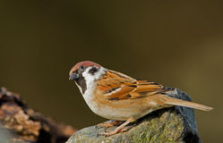 Tree Sparrow Stock Photo