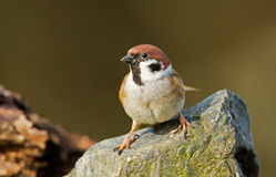 Tree Sparrow Royalty Free Stock Photography
