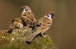 Free Tree Sparrow Stock Photography - 29959752
