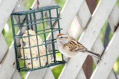Free Tree Sparrow Royalty Free Stock Photos - 37917578