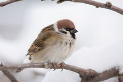 Free Tree Sparrow Royalty Free Stock Photography - 55617187