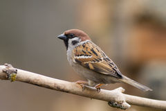 Tree Sparrow (aka Passer Montanus)1 Stock Photography