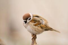 Tree Sparrow (aka Passer Montanus) Stock Image