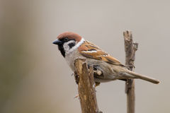 Tree sparrow (aka passer montanus) Royalty Free Stock Photography
