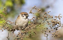Tree sparrow. At autumn time Royalty Free Stock Photography