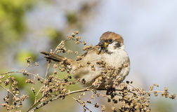 Tree sparrow. At autumn time Royalty Free Stock Photo