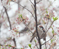 Tree sparrow bird on the cheery blossom tree Stock Photography