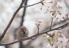 Tree sparrow bird on the cheery blossom tree Stock Image