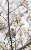 Tree sparrow bird on the cheery blossom tree. Japan Royalty Free Stock Photos