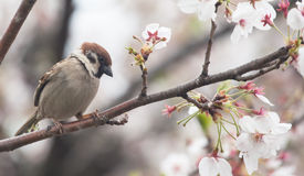 Tree sparrow bird on the cheery blossom tree Royalty Free Stock Images