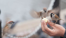 Tree sparrow bird eating  bread Stock Images