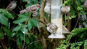 Tree sparrow birds Passer montanus eating some seeds stock video