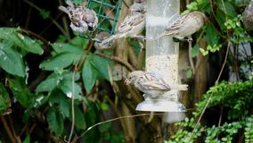 Tree sparrow birds Passer montanus eating some seeds stock video footage