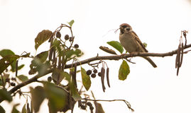 Tree Sparrow on Black Alder tree Royalty Free Stock Image