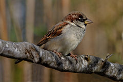 Tree Sparrow on a branch. A Tree Sparrow in woodland on the island of Majorca, Spain Stock Images