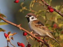 Tree Sparrow on branch Stock Photos