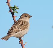 Tree Sparrow on branch Royalty Free Stock Photography