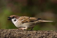 Tree Sparrow on a branch Stock Photography