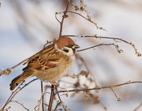 Tree Sparrow on branch in winter time Royalty Free Stock Images