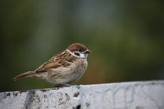 Tree Sparrow Close-Up Brown stock image