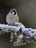 Tree sparrow on a cold winter Stock Photo