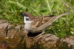 Tree Sparrow drinking Royalty Free Stock Photography