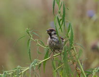 tree sparrow eat hemp seeds Stock Photo