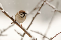 Tree sparrow. Eurasian Tree Sparrow (Passer montanus) sitting in a tree in winter time Royalty Free Stock Images