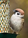 Tree Sparrow on a feeder Royalty Free Stock Photo