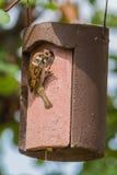 Tree Sparrow feeding chicken Royalty Free Stock Image
