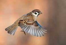 Tree sparrow flies on fast speed with spreaded wings and clear orange background stock images