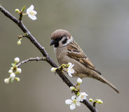Tree Sparrow in flowering mirabelle Stock Photos