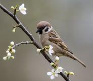 Tree Sparrow in flowering mirabelle Stock Photos