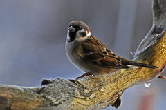 Tree sparrow on a frosty branch in the morning sun Royalty Free Stock Image