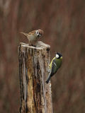 Tree Sparrow and Great Tit Royalty Free Stock Photography