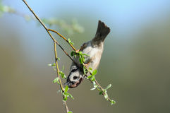 Tree Sparrow hangs at thin tree branch upside down Stock Image