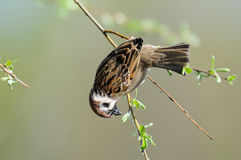Tree Sparrow hangs upside down at thin tree branch Royalty Free Stock Images