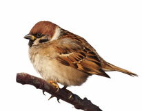 Tree Sparrow isolated on white Stock Photo