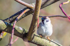 The tree Sparrow Stock Image