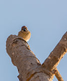 Tree Sparrow looking down Stock Image