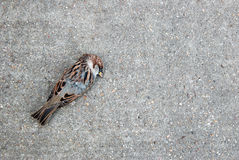 Tree sparrow lying dead on a concrete path Royalty Free Stock Images