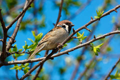 Tree Sparrow, Passer montanus. In the wild nature Stock Images
