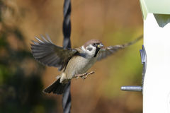 Tree sparrow, passer montanus. Landing on the feeder Royalty Free Stock Images